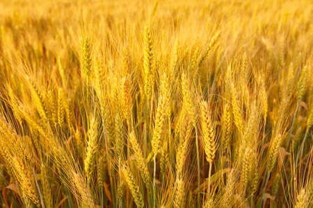 Wheat field with spikelets close up, background with wheat spikelets Stockfoto