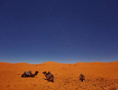 Camels sleep under the starry sky in sahara desert, Morocco.