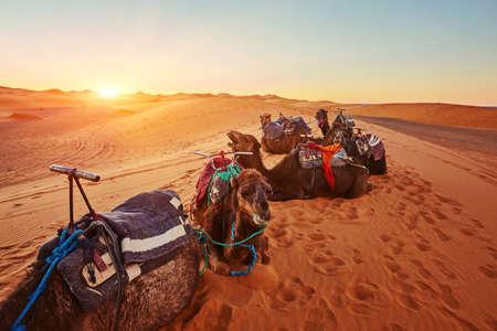Camel in the Sahara desert in Morocco standing on a dune