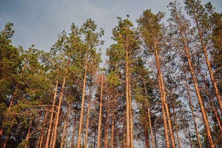 pine forest under deep blue sky in mountain Carpathians