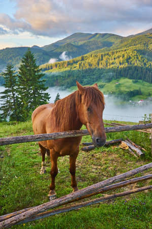 The horse grazes in a mountain pasture where, after rain, green pastures in the alpine zone in the Carpathians are covered with a sea of fog. 版權商用圖片