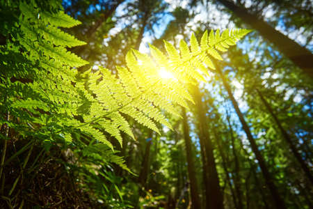 A detailed shot of a beautiful fern leaf illuminated by sunbeams. Bright spring sunbeams shine through the green leaves of ferns in the depths of a picturesque pine forest in the mountains. 版權商用圖片