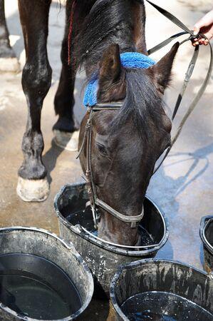 caballo bebe: bebidas caballo agua de un cubo
