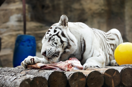 White tiger with a piece of meat in zoo photo