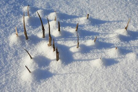 wintering: Trimmed bushes on wintering in the garden