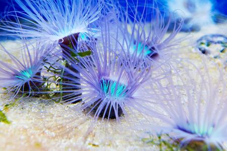 anemones: Blue anemones in a large oceanarium Stock Photo