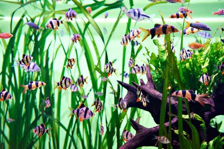 barbus: Aquarium fishes - barbus puntius tetrazona Stock Photo