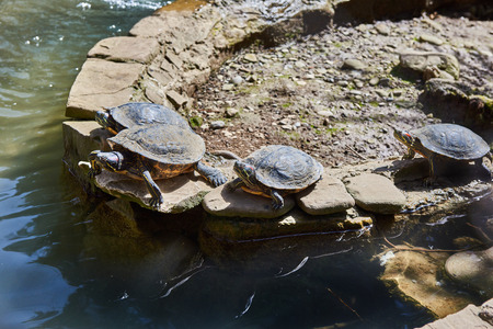 bask: Red-eared turtles bask in the sun Stock Photo