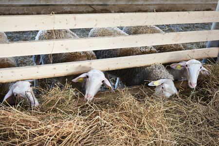 sheepfold: Sheeps eating hay in a pen on the farm