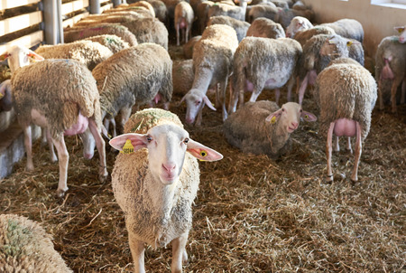 sheepfold: Herd of sheep in a pen on the farm