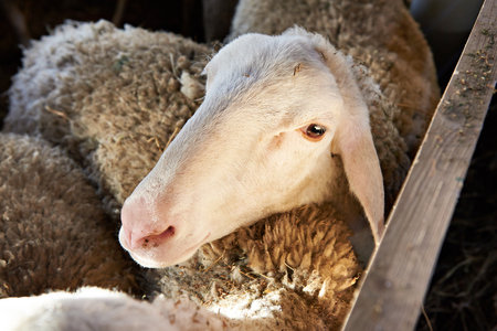 sheepfold: Sheep eating hay in a pen on the farm Stock Photo