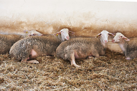 sheepfold: Sheep lying on straw in the pen on the farm