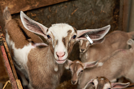 corral: Goat kids in the corral on the farm Stock Photo