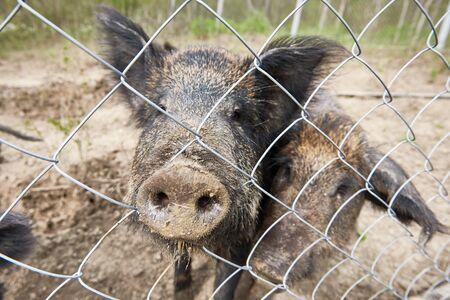 wild boar: Wild boar in a cage