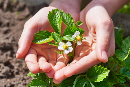 flowering: Childrens hands carefully holding a branch of blossoming strawberry