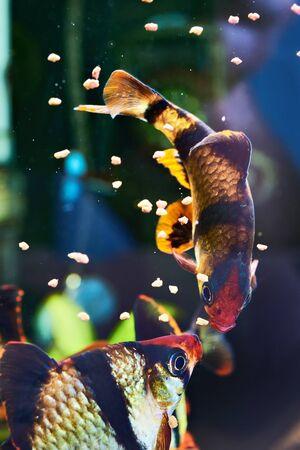 tetrazona: Feeding aquarium fishes - barbus puntius tetrazona in aquarium