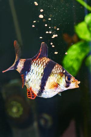 barbus: Feeding aquarium fish - barbus puntius tetrazona in aquarium Stock Photo
