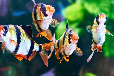 tetrazona: Aquarium fishes - barbus puntius tetrazona in aquarium