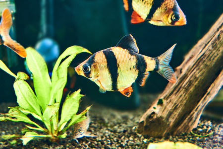 tetrazona: Aquarium fish - barbus puntius tetrazona in aquarium