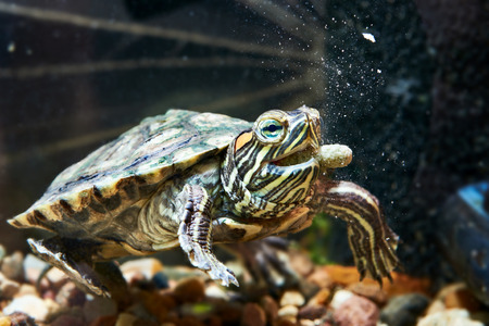 Red-eared turtle have dry feed in an aquarium