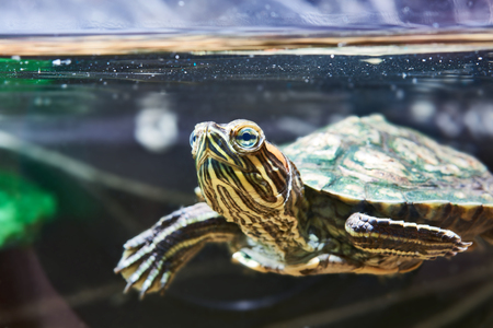 Small red-eared turtle in aquarium Stock Photo