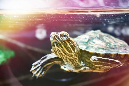 Small red-eared turtle in aquarium Фото со стока