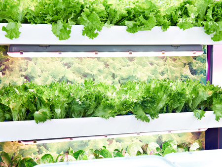 Growing lettuce with artificial light indoors Фото со стока
