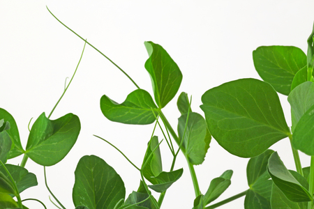 Pea plant – A young pea plant growing on a white background