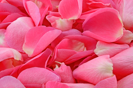 Rose petals – A plan view of pink rose petals