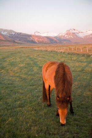 El caballo de Islandia, o incluso de los islandeses de Islandpony, es uno de raza nacido en Islandia, versátil y robusta.  Foto de archivo - 4386517