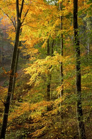 idylle: Sunlit autumn woods with colored leaves.