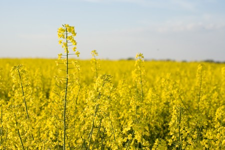 Rape with a canola field in the background. Stock Photo - 4386518