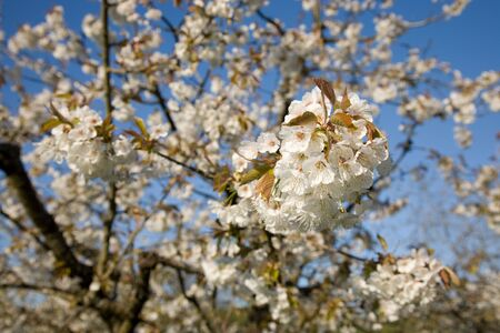 rosaceae: Apple blossoms in the spring of different apple varieties. Stock Photo