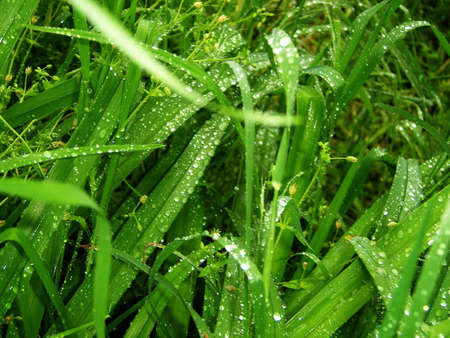 gentile: verdure; matutinal dew; drop; colour; texture; background; nature; beauty; juicy green herb; gentile colour; light; bright, flowerses Stock Photo