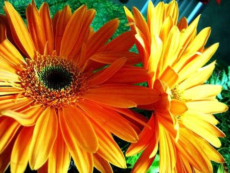 gentile: Gerbera; exotic flower; bouquet; freshness; gentile aroma; scent;  background; texture; vegetation; fauna; daisywheel, orange, solar, bright Stock Photo