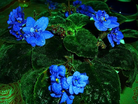 gentile: Violets; home flower; bouquet; freshness; gentile aroma; scent; background; texture; vegetation; fauna; violet colour; bright; dew; water; room plant