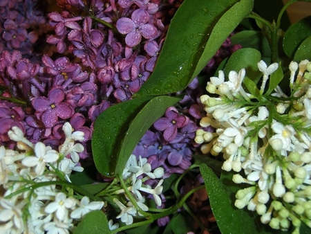 gentile: Lilac, shrubbery, flowerses; bouquet; freshness; gentile aroma;  scent; background; texture; vegetation; fauna; violet and white colour; bright; dew; water, sheet