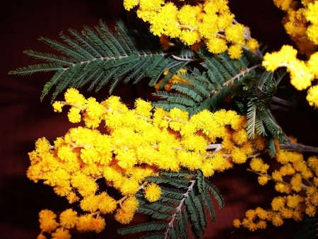 gentile: Mimosa; touch-me-not, yellow colour, freshness; gentile aroma;  scent; background; texture; vegetation; fauna;  bright flower; beauty, branch, sheet Stock Photo