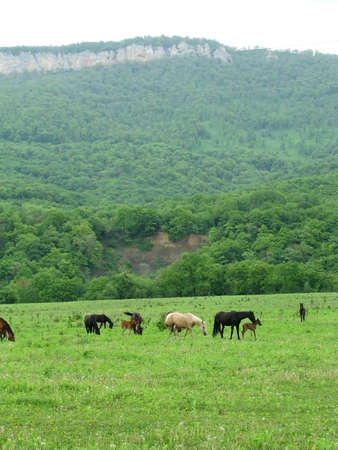 Horses; herd; horses; a glade; a meadow; a pasture photo