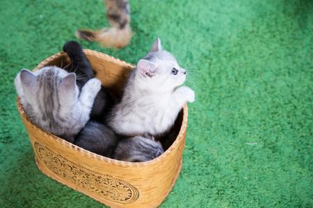 Charming little kitten Scottish Fold Stock Photo