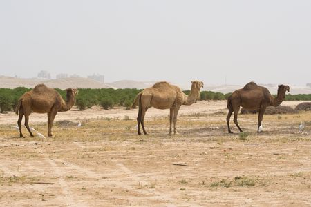 wilds: Young camel in the desert