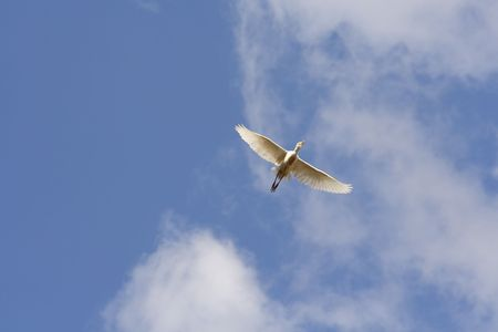 Egret soaring to your nest