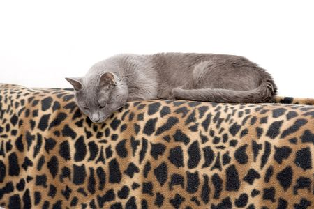 My lovely cat on leopard blanket photo