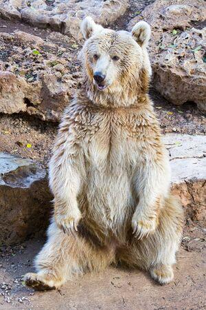 Syryjski: Syryjską ponosi usiąść w ogrodzie zoologicznym Zdjęcie Seryjne