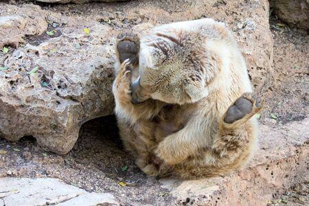 Syryjski: Syrian opatrzone zasiadania w zoo