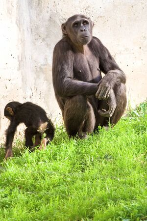 Chimpanzee with calf sitting over grass photo