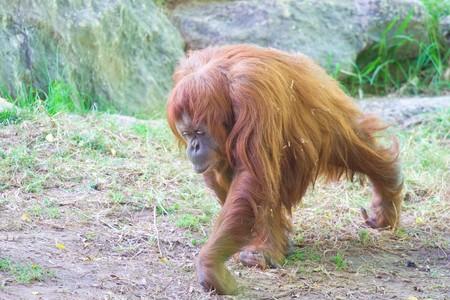 orangutang: Orangutang who living in zoo