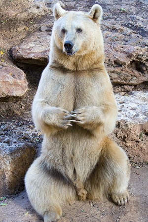 syrian: The syrian bear sit in the zoo