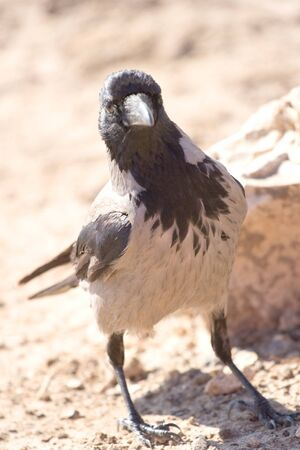 migrating: hooded crow sitting on a drass