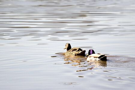 palmiped: The duck swimming by pond